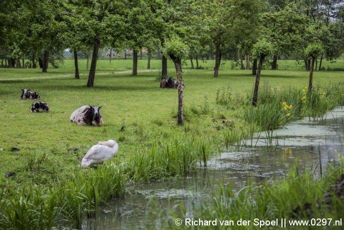 Het schaap ligt weer lekker op het droge