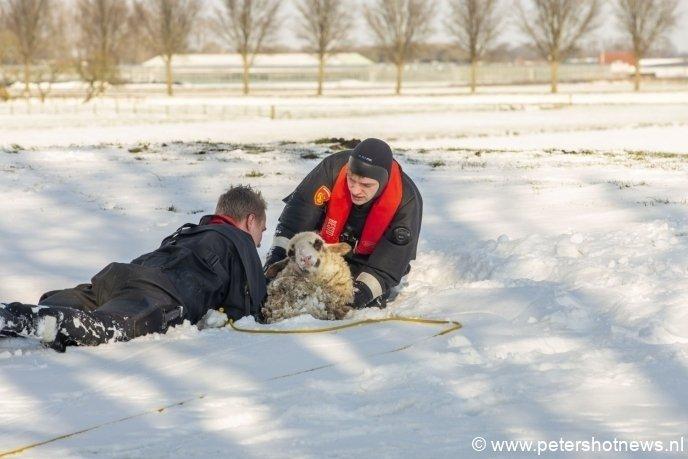 #DeHoef - Brandweer redt door ijs gezakt schaap in De Hoef.