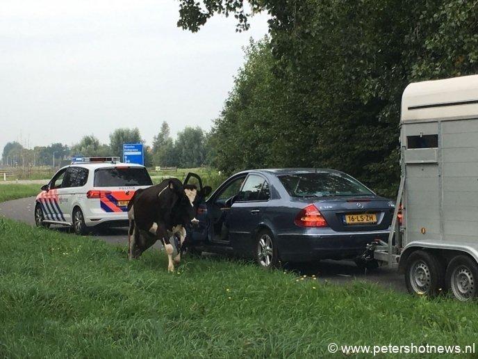 De koe loopt rustig de andere kant op...